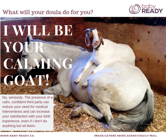 calming goat